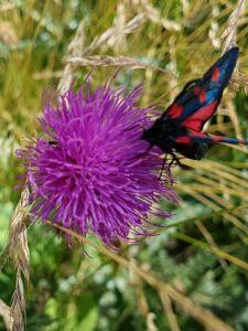 Papillon dans le Gran Paradiso