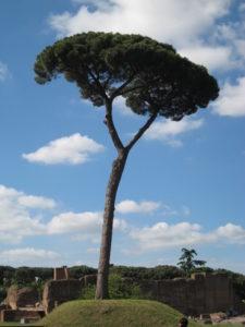 Pin parasol romain